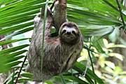 Copa-de-Arbol-sloth
