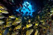 Marine-fish