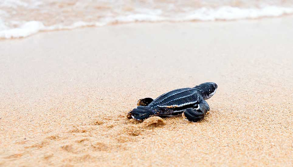 leatherback turtle hatchling