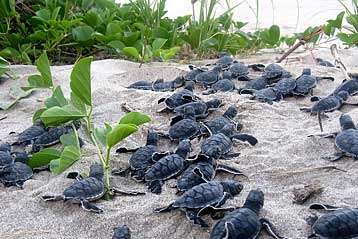 Turtle hatchlings in Tortuguero