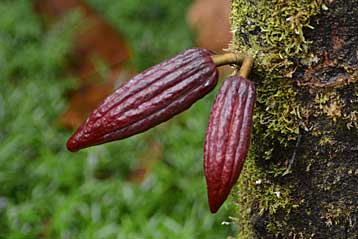 Cocoa seed pods