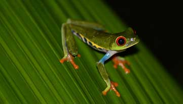 Colourful Frog - Costa Rica Specialist Holiday photo