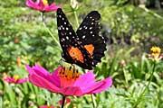 Bougainvillea-butterfly