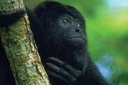 Wildlife-howler-monkey