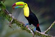 -toucan