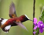 hummingbird-small