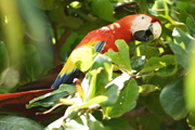 red-macaw