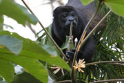 Wildlife-howler-monkey