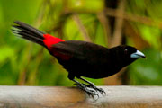 Wildlife-tanager
