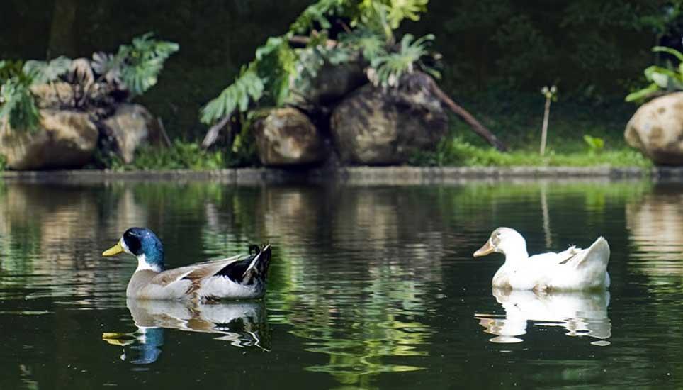 Ducks on the pond at Hotel Belmar