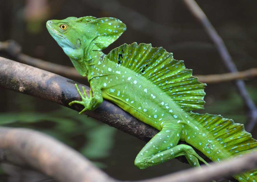 CC lizards
