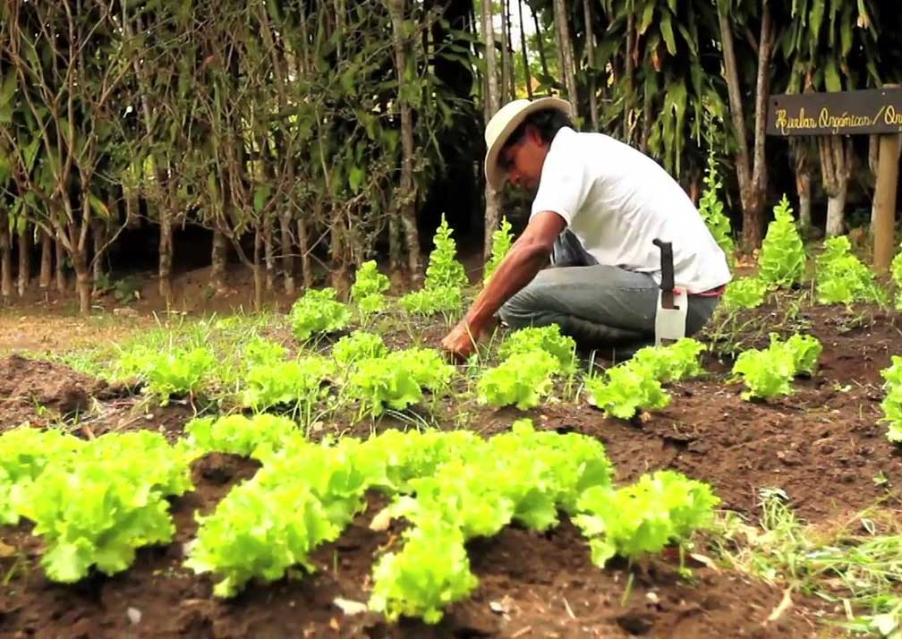 bougainvillea gardening