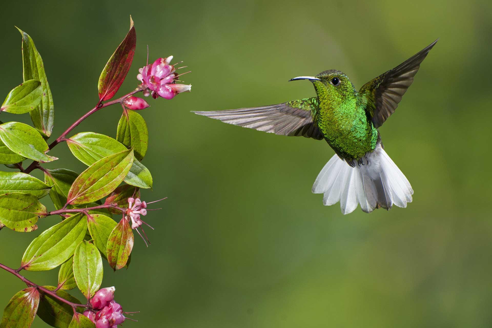Monteverde-hummingbird