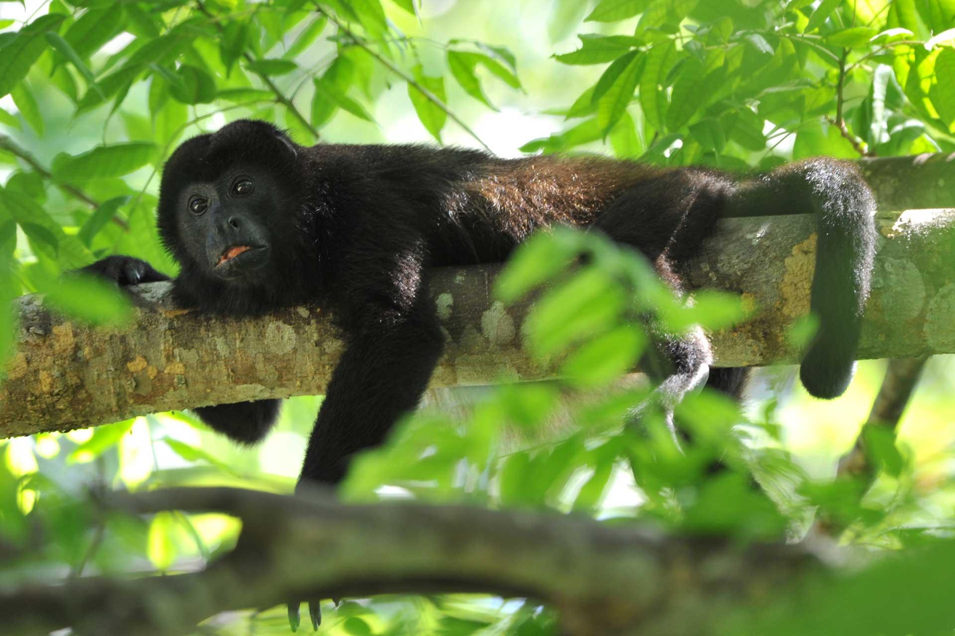 howley-monkey
