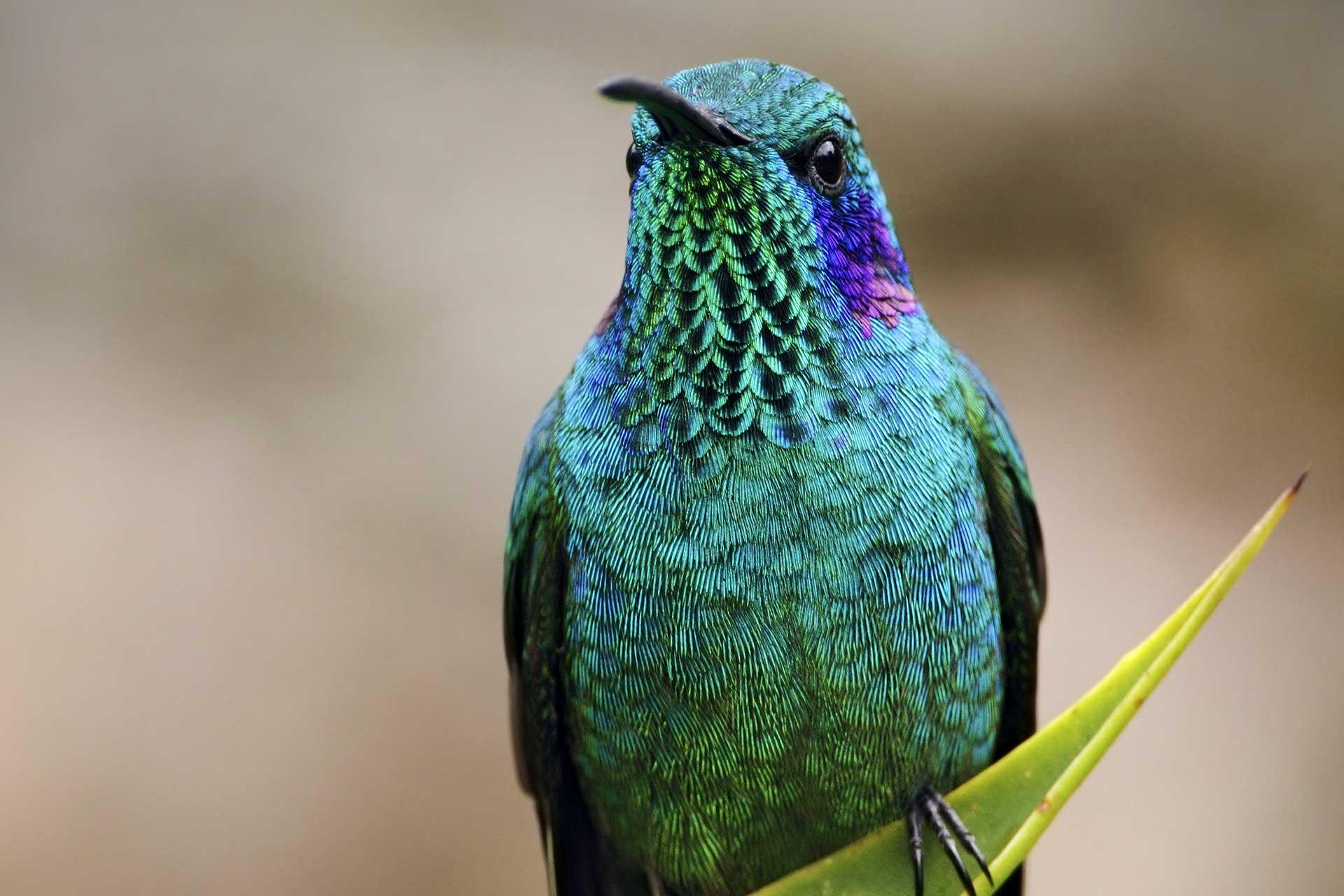 hummingbird-blue