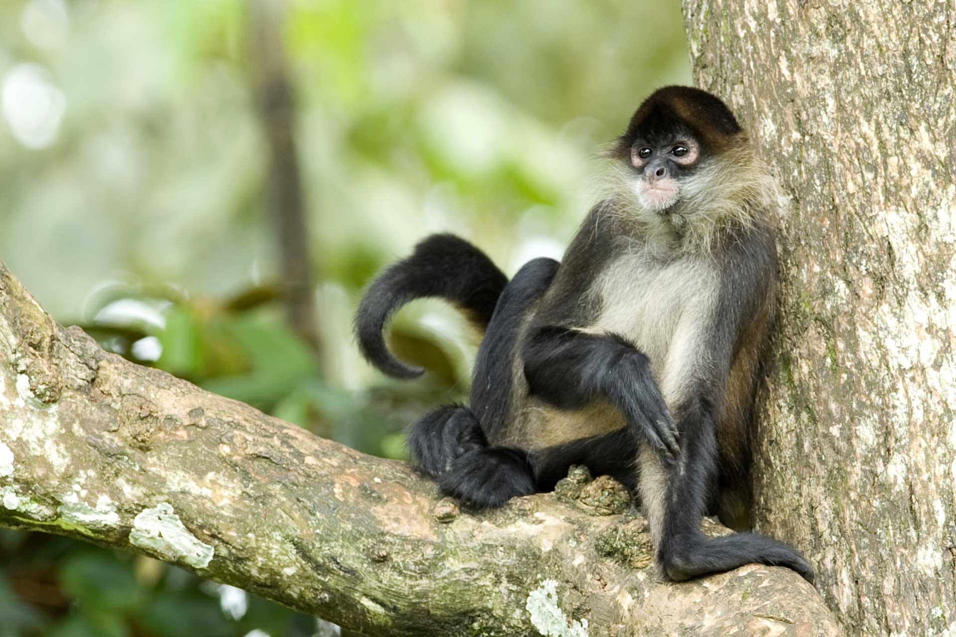 oas-spider-monkey